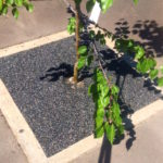 Why are StoneSet rubber tree pits the best?